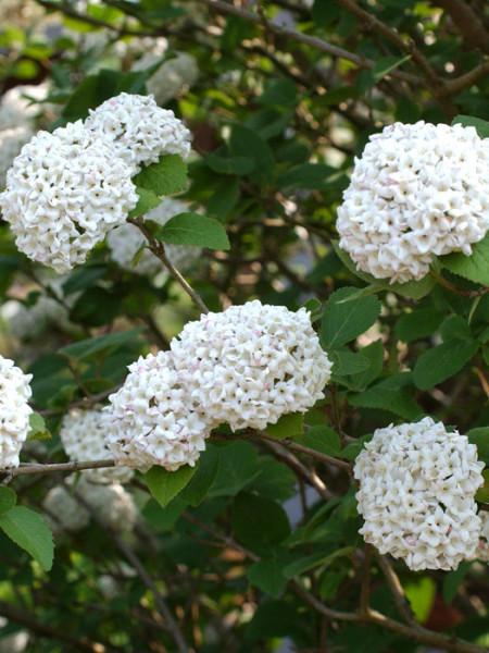 Duft-Schneeball Blüte