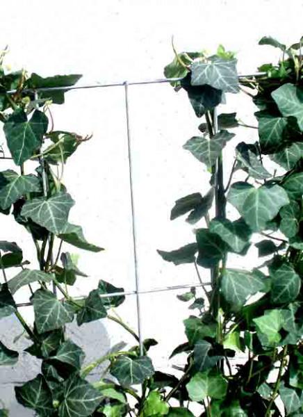 Hedera helix 'Woerneri' - immergrüner Efeu - XXL-Produkt