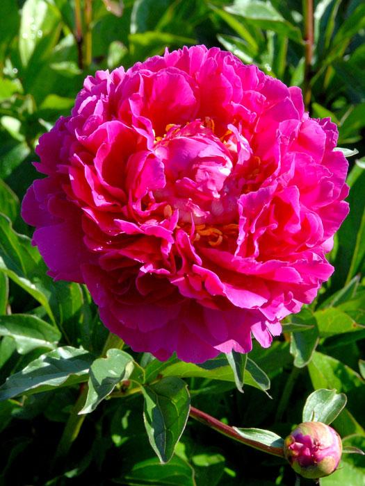 paeonia lactiflora 39 karl rosenfield 39 gartencenter shop24. Black Bedroom Furniture Sets. Home Design Ideas
