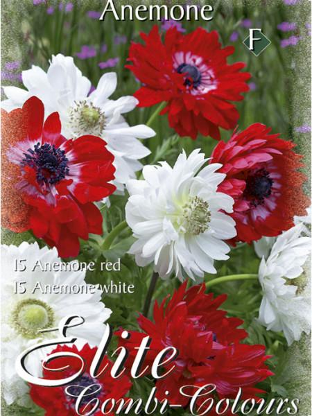Anemonegefüllt blühend,St. Brigid- Rot und Weiß, Anemone coronaria (Art.Nr. 520771)