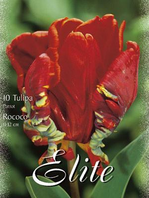 Papagei-Tulpe 'Rococo' (Art.Nr. 595570)