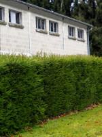 Picea abies, Fichte, heimische Rotfichte