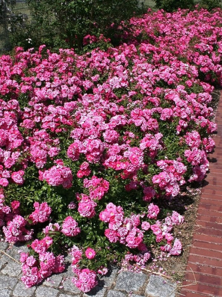 Rose Heidetraum Bodendecker