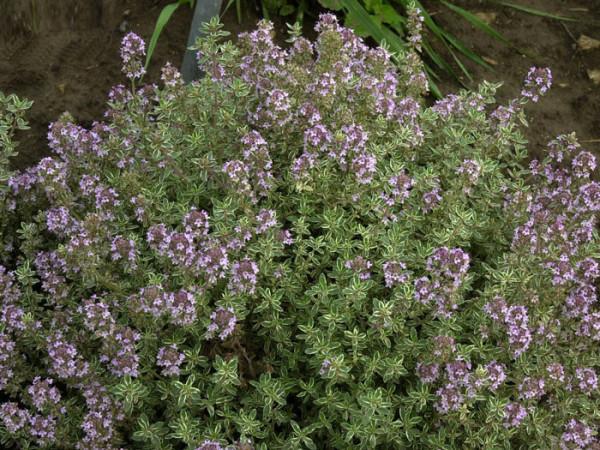 Thymus citriodorus 'Silver Queen', Silberner oder weißbunter Zitronen-Thymian