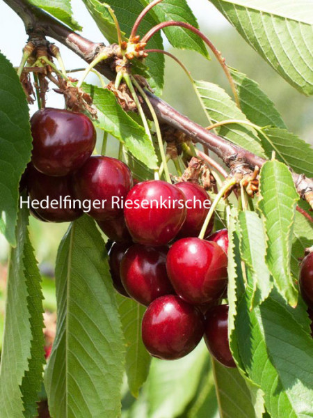 Duo-Kirschbaum - Hedelfinger Riesenkirsche und Sunburst