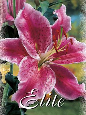 Orientalische Lilien-Hybride 'Rot' (Art.Nr. 597144)