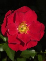 Rose Austriana ® - Tantau