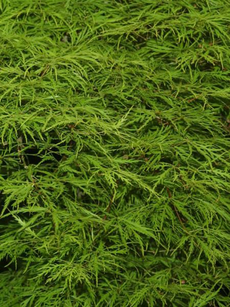 Moosgrünes, feines Laub des Schlitzahorns