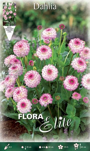 Beet-Dahlie 'Pink Isa', Dahlia (Art. Nr. 520396)
