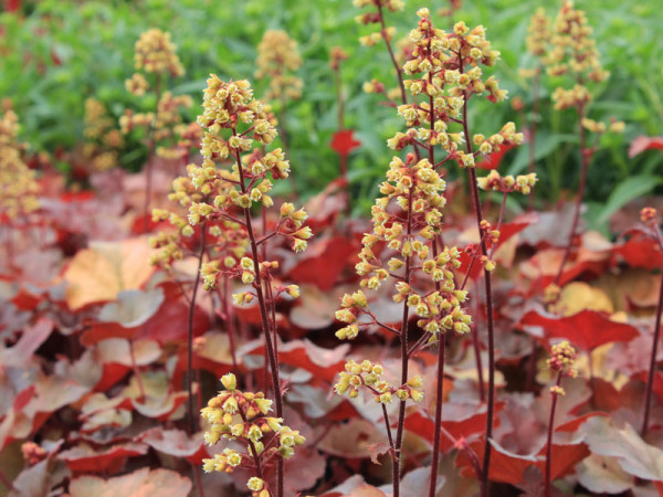 Heuchera Little Cuties 'Blondie', Purpurglöckchen