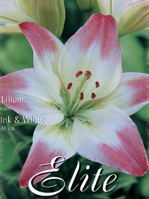 Asiatische Lilien-Hybride 'Rosa mit Weiß' (Art.Nr. 597092)