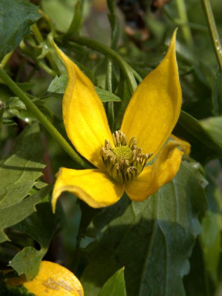 Die Blüte der Goldwaldrebe