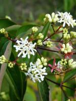 Heptacodium miconioides, Strauch der sieben Söhne des Himmels
