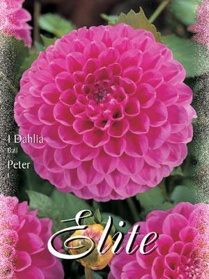 Ball-Dahlie 'Peter', Dahlia (Art.Nr. 520488)