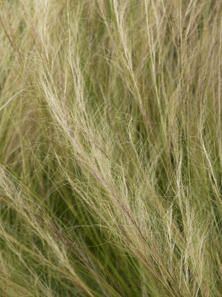 Stipa tenuissima (M), Zartes Federgras, Engelhaar