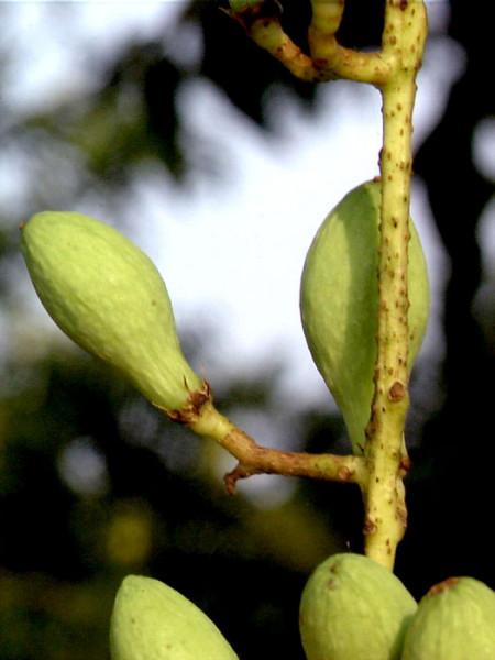 Chinesischer Gemüsebaum 'Toona sinensis'