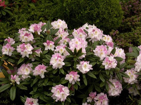 Rhododendron 'Brigitte