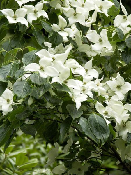 Blüten des Japanischen Hartriegels aus der Nähe