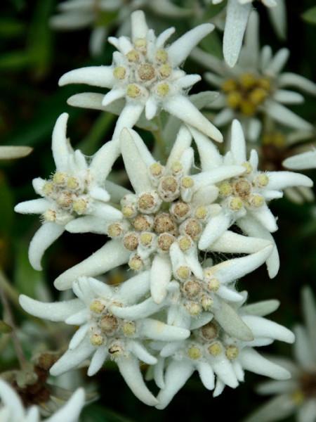 Leontopodium alpinum, Alpen-Edelweiß