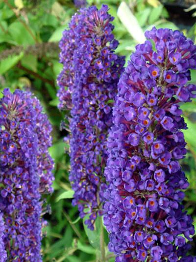 Violetter Blütenstand des Schmetterlingsstrauchs 'Black Knight'