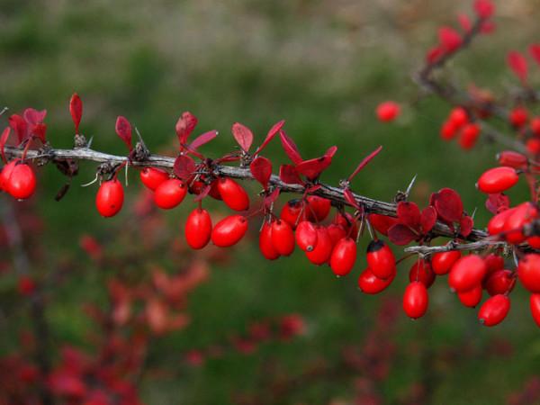Frucht der Grünen Hecken-Berberitze