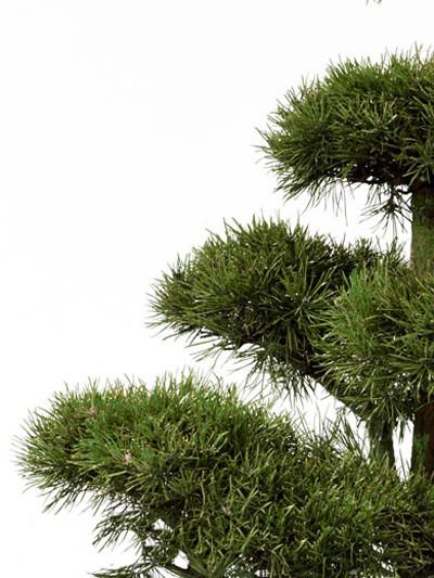 Pinussylvestris -Bonsai, XXL-Produkt