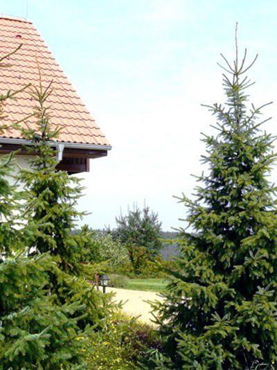 Pflanzung mit mehreren serbischen Fichten