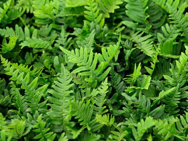 Polypodium vulgaris, Tüpfelfarn, Engelsüß