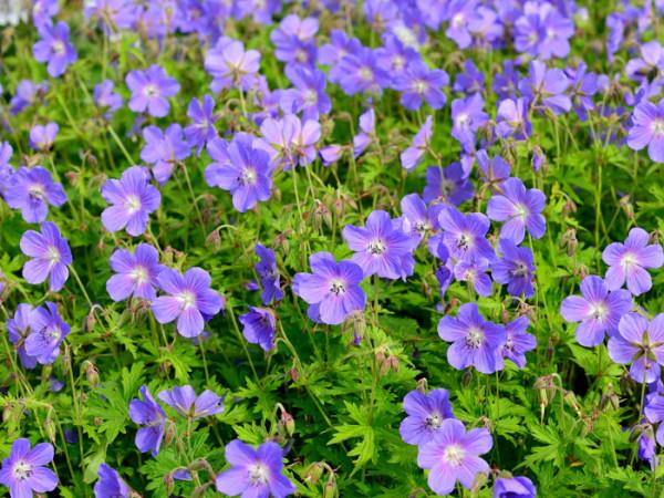 Flächige Bepflanzung mit dem Wiesenstorchschnabel 'Johnson's Blue'