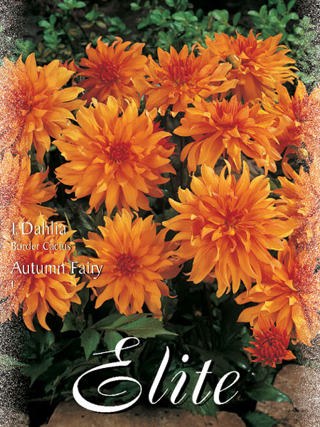 Beet-Dahlie 'Autumn Fairy', Dahlia (Art.Nr. 520304)