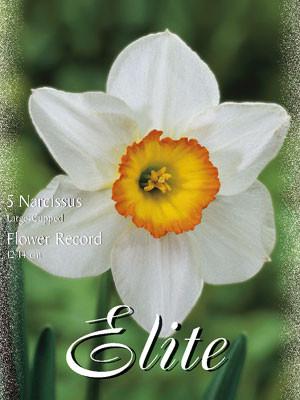 Großkronige Narzissen 'Flower Record' (Art.Nr. 595948)