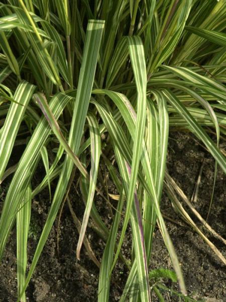 Molinia caerulea 'Variegata', Weißbuntes Moor-Pfeifengras