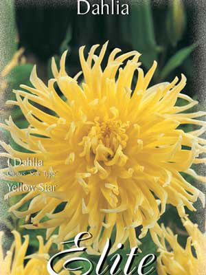 Kaktus-Dahlie 'Yellow Star', Dahlia (Art.Nr. 520352)