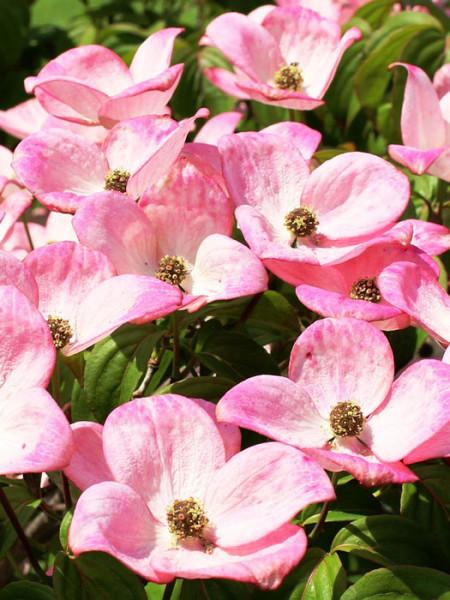 Amerikanischer Blumen Hartriegel