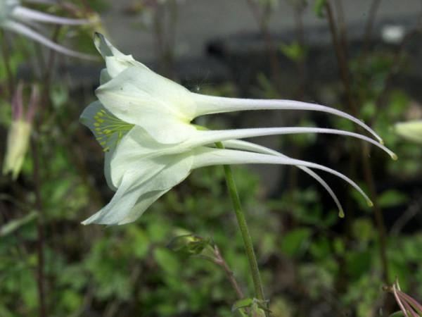Aquilegia caerulea 'Kristall', Weiße Akelei, nordamerikanische Akelei