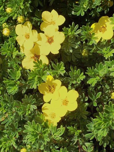 Fünffingerstrauch Blüte