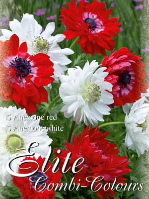 Edle Farbkombination mit Anemonen in den Farben Rot und Weiß (Art.Nr. 597992)