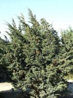 Juniperus squamata 'Meyeri', Blauzeder-Wacholder