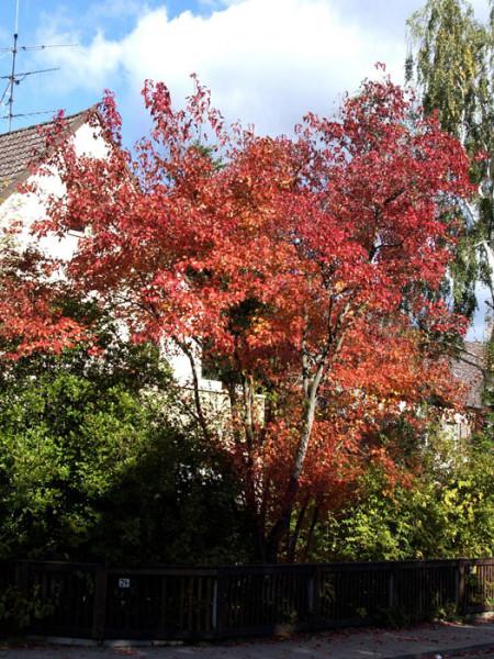 Der Feuerahorn im Herbst