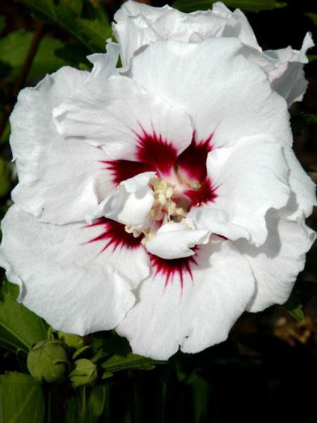 Hibiscus syriacus 'Speciosus', Hibiskus, Garteneibisch