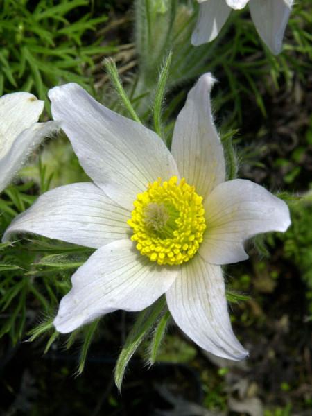 Pulsatilla vulgaris 'Alba' (M), Weiße Küchenschelle, Kuhschelle