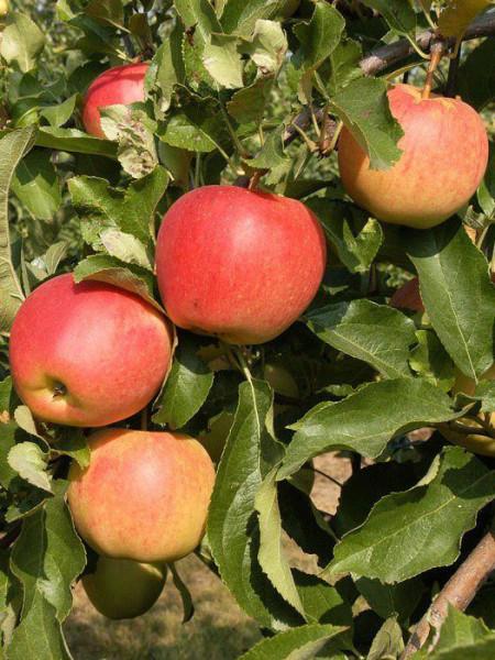Der Apfel 'Gala' am Baum