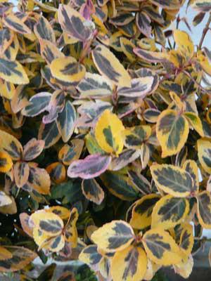 Zweifarbiges Laub des gelbbunten Pfaffenhütchens