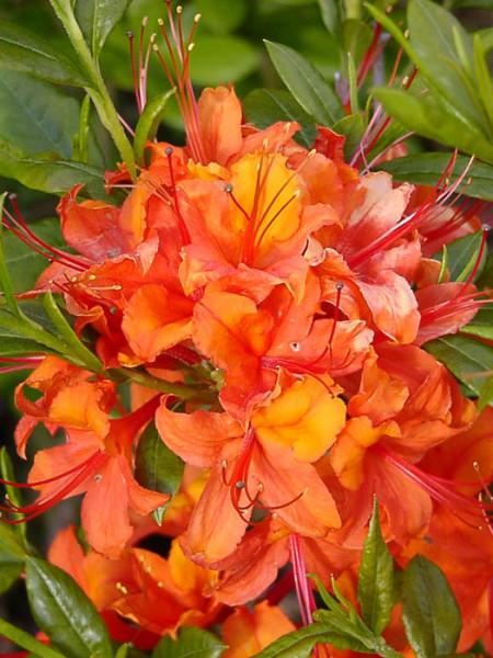 Rhododendron luteum 'Coccinea Speciosa', Sommergrüne japanische Gartenazalee