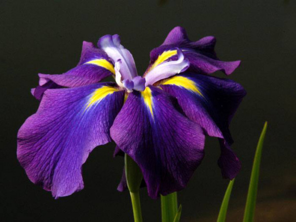 Iris ensata, Japanische Sumpfiris