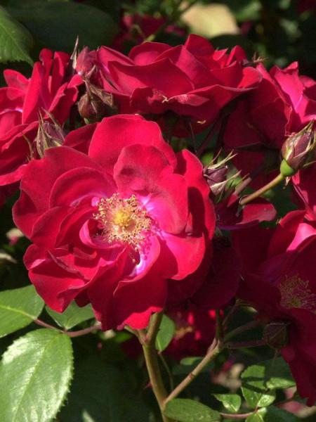 Blüte der Rose Dirigent