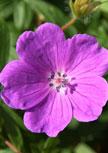 geranium-sanguineum56d98dd2dfb44