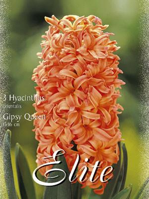 Hyazinthe 'Gipsy Queen' (Art.Nr. 595016)