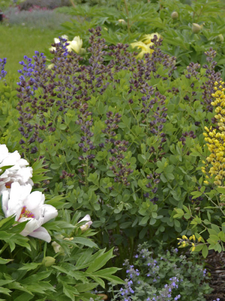 Baptisia decadence 'Dutch Chocolate', Indigolupine
