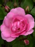 Rose Centenaire de Lourdes ® - Delbard